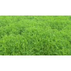Vetch, Hairy (Vicia villosa)